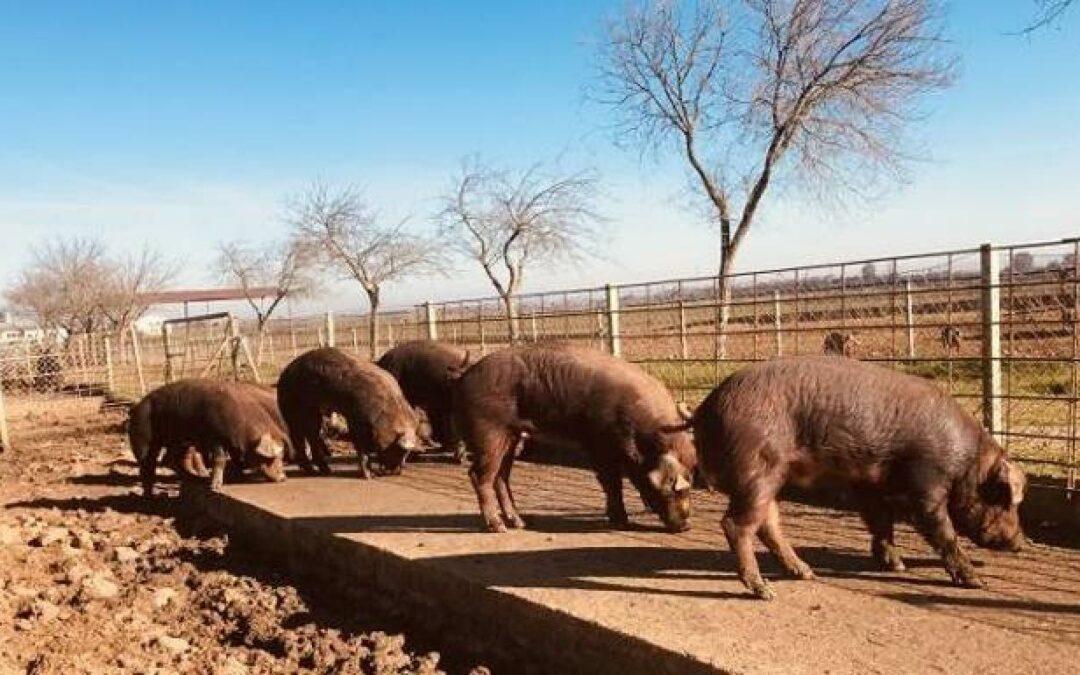 El cerdo Duroc